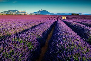 Amazing lavender fields in Provence