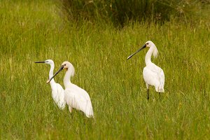 Herons walking on the grass
