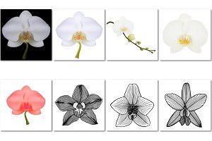 Vector flower of Orchid