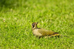 European green woodpecker (Picus viridis)