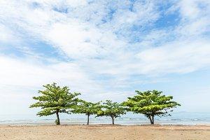 Beach almond tree