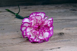 Carnation on a wooden table