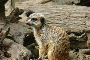 meerkat, Surikate