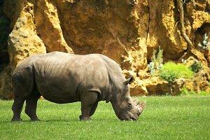 rhino grazing in field