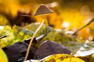 Mushrooms in forest around leaves in autumn. Abstract background.