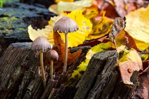 Mushrooms on wood in forest around leaves in autumn. Abstract background.