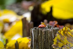 Ladybug on wood in the forest. Abstract background.