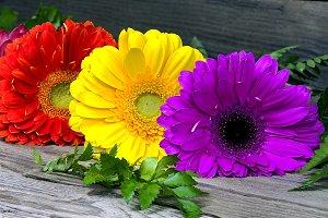 Three colorful gerberas