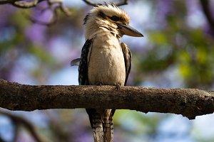 Kookaburra 10 image set