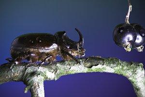 Rhinoceros Beetle on blue Background