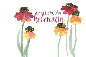 Watercolor Helenium Flowers