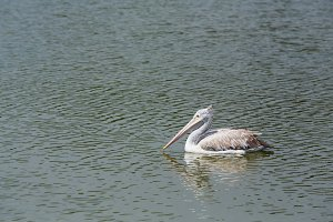 Pelican in lake