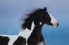 Portrait of American Paint horse