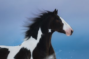Portrait of American Paint horse