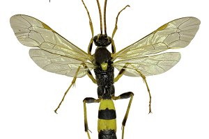 The Parasitic Wasp Amblyteles