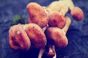 Bunches of honey mushrooms