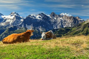 Herd of cows in Switzerland