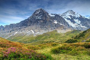 Mountain flowers with Eiger peak