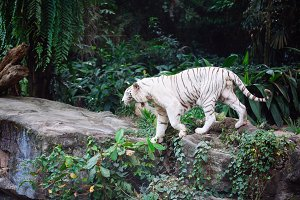 wild life shot of a white tiger