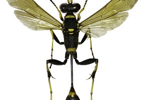 Black and Yellow Mud Dauber on white