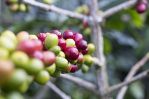 Red green cherries coffee on branch