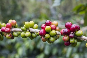 Cherries on branch coffee tree