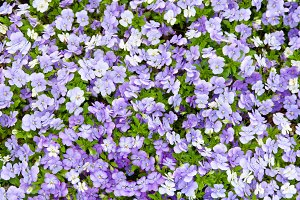 Blue and violet pansy flowers