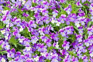 Blue, white and violet pansy flowers