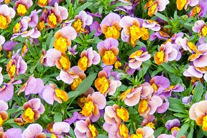 Violet and yellow pansy flowers