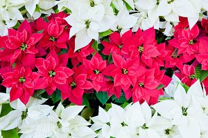 Red and white Christmas poinsettias
