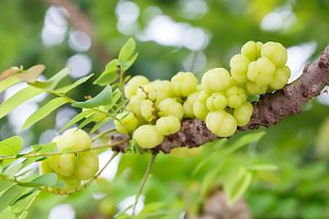 Star gooseberry on tree