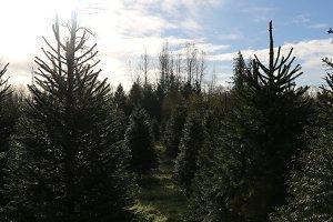 Christmas Tree Farm on Sunny Day