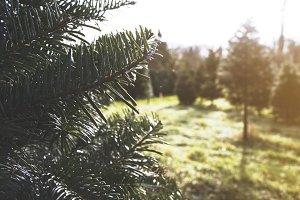 Sunny Day at Christmas Tree Farm 1