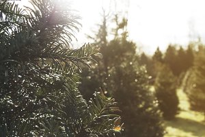 Sunny Day at Christmas Tree Farm