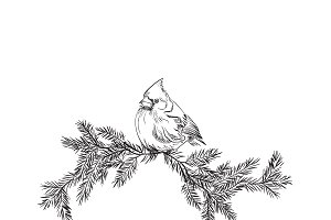 Cardinal bird, sketch, vector