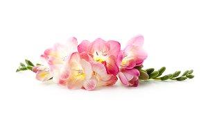Freesia flowers lying down