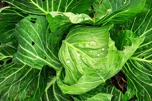 Fresh Cabbage in Farm