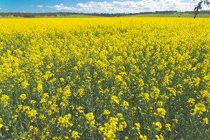 Yellow Canola Field