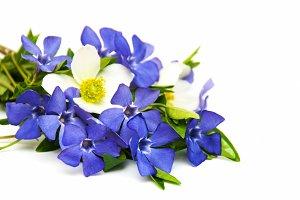 Blue Perwinkle flowers