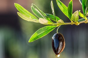 drops from the olive berry.