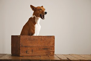 Beautiful dog with an old wooden box