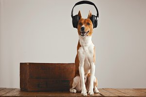 Cute basenji dog wearing headphones