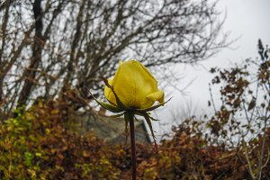 Yellow rose flower autumn background