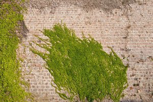 Ivy climbing Plants on Castle Wall