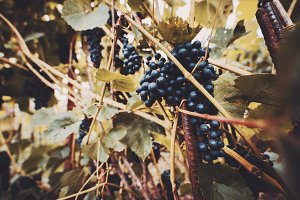 bunches of black grapes