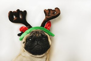 Pug with Christmas horns on white