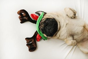Cute pug in Christmas horns