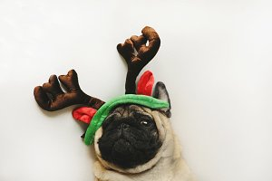 Cute pug portrait in Christmas horns