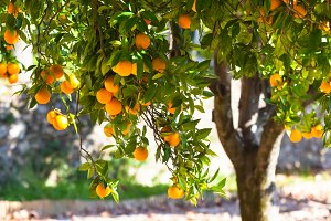 Orange tree with ripe fruits