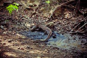 Komodo dragon in nature.